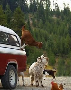 Climbing Goats (Ibex) | Imron Wahyudi's Weblog