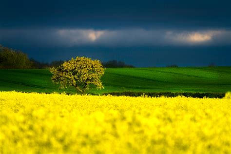 Yellow Picture by Green And Yellow Flower Field 183 Free Stock Photo