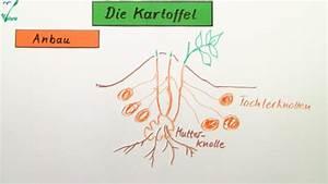Aufbau Der Zwiebel : die kartoffel biologie online lernen ~ Lizthompson.info Haus und Dekorationen