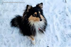 shetland sheepdog sheltie dierenhof debrabandere