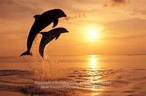 digital file of two silhouetted Bottlenose Dolphins ...