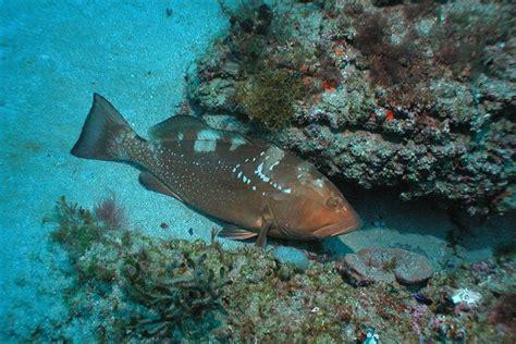 grouper species reef