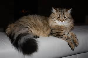 siberian cats for siberian cats siberian cats and kittens cattery in