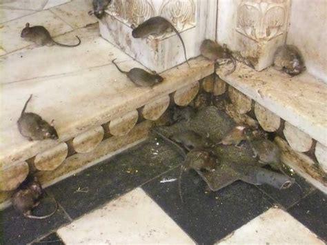 d 233 ratisation en yvelines et 92 des rats rongeurs soci 233 t 233 de d 233 ratisation