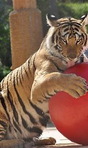Bengal tiger- red ball | Akasha's new toy is not a giant ...