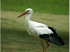 National Bird Of Lithuania White Stork 123Countriescom