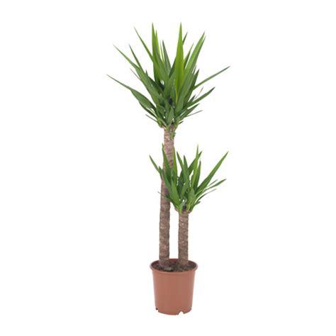 yucca plante interieur ou exterieur yucca elephantipes plante en pot ikea