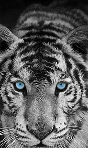Pin by ʳ'ᵃ on Wallpapers in 2020 | Tiger wallpaper, Tiger ...