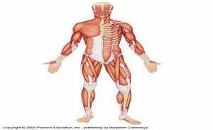 HAP 1 - The Muscular System Flashcards by ProProfs