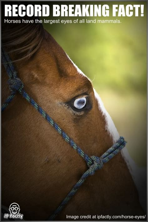 horse eyes eye largest land mammals horses facts fun learning