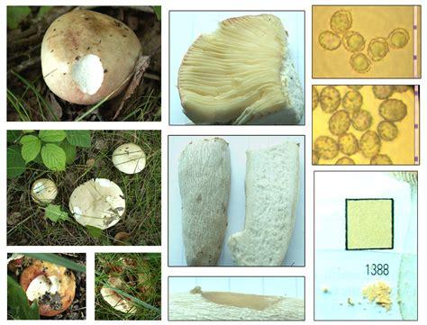 Bleached Brittlegill - Russula exalbicans | Trooping under ...