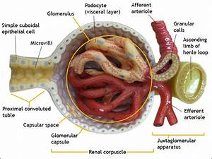 Glomerulus  Kidney  Anatomy