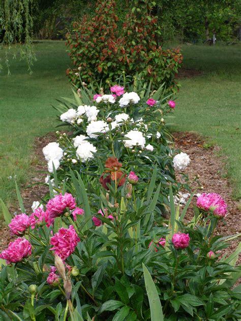 peony planting peonies state by state gardening