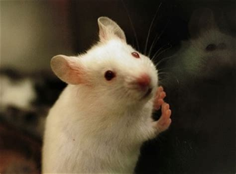 show me pictures of mice of mice and men 187 scienceline