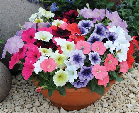 petunia garden that s blooming brilliant scientists develop tough petunia plant which survives temperatures of