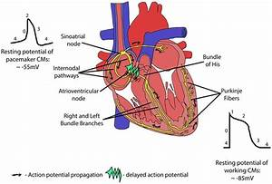 Restoring Heart Function And Electrical Integrity  Closing