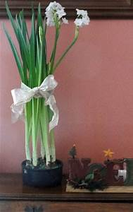 GoGardenNow FAQ How Can I Keep Paperwhites From Falling