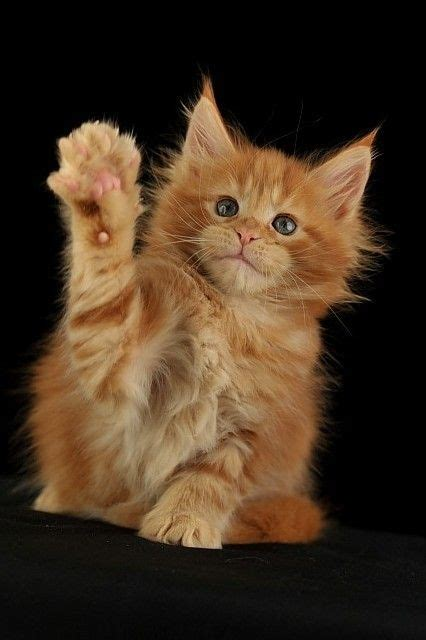 images  cute small maine coon kittens