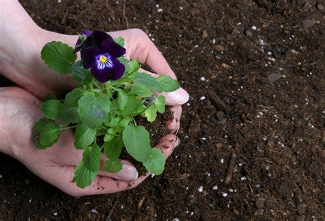 wann tulpenzwiebeln pflanzen tulpenzwiebeln pflanzen wann tulpenzwiebeln im herbst