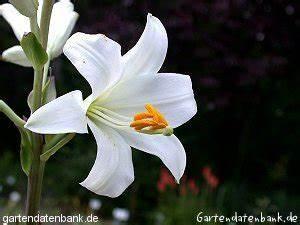 Weiße Stauden Mehrjährig : wei e lilie madonnenlilie lilium candidum schneiden pflege pflanzen bilder fotos garten ~ Eleganceandgraceweddings.com Haus und Dekorationen