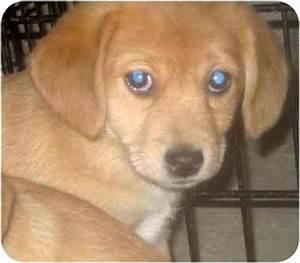 CJ | Adopted Puppy | Chicago, IL | Beagle/Pomeranian Mix