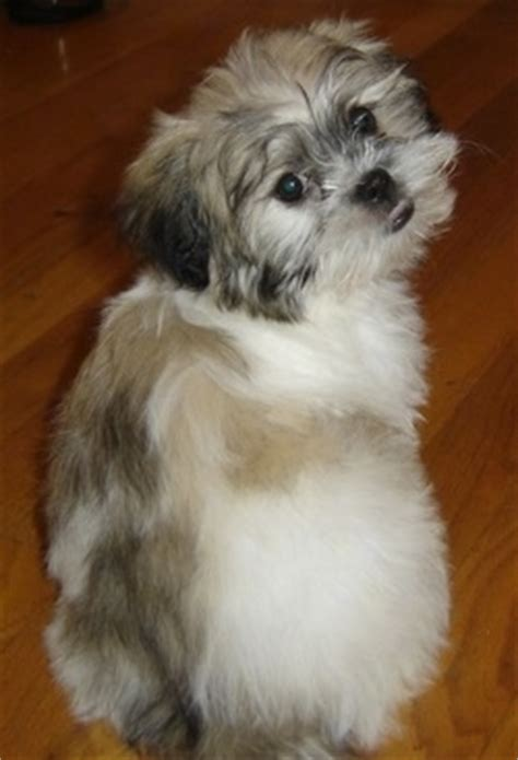 peke  tese dog breed information  pictures