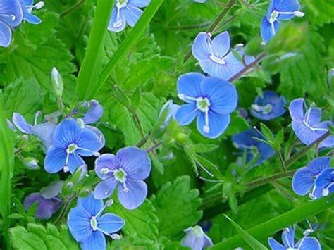 site cuisine facile la véronique une fleur facile à cultiver