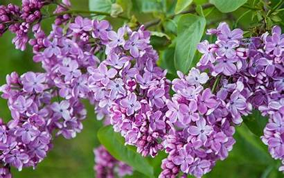 Flowers Lilac Purple Branch Rate Superiorwallpapers Widescreen