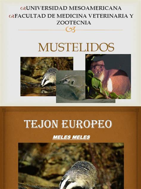 Mustélidos Naturaleza Sicología y ciencia cognitiva