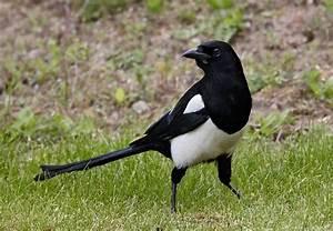 Elster Vogel Vertreiben : elster pica pica info a z die vogelarten auf runde ~ Lizthompson.info Haus und Dekorationen