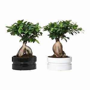 Ficus Ginseng Kaufen : ficus microcarpa ginseng pflanze mit bertopf ikea ~ Sanjose-hotels-ca.com Haus und Dekorationen