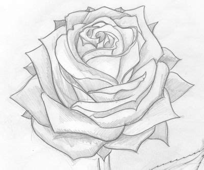 sketch drawings  roses drawings art gallery
