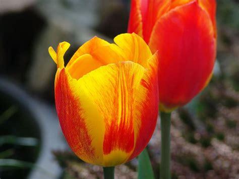 zwiebelblumen blumenzwiebeln
