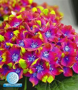 Hortensien Wann Pflanzen : freiland hortensie saxon schloss wackerbarth baldur garten ~ Lizthompson.info Haus und Dekorationen