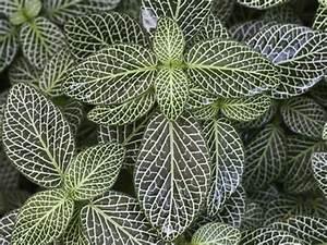 Plante Verte D Appartement : le fittonia une plante verte tr s d corative ~ Premium-room.com Idées de Décoration