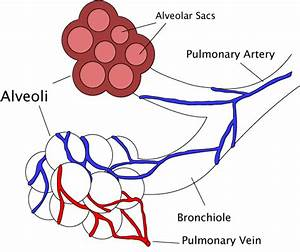 File Alveoli Diagram Png