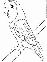 Parakeet Coloring Pages Birds Colouring sketch template