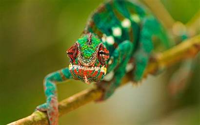 Bunglon Gambar Tercantik Chameleon Chameleons Warna Wallpapers