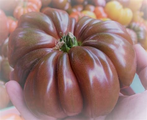 Pomodori Vaso by Vendita Piantine Di Pomodoro Costoluto Vaso 10