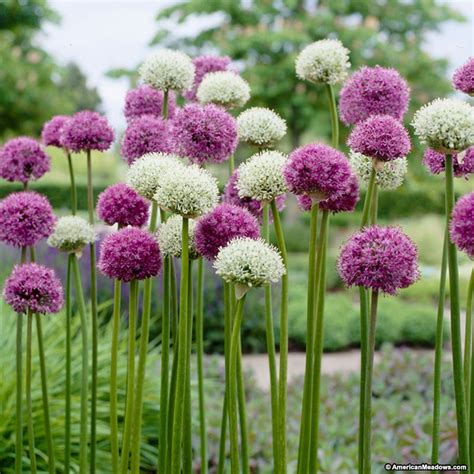 allium bulbs wild about allium bulbs mix american meadows