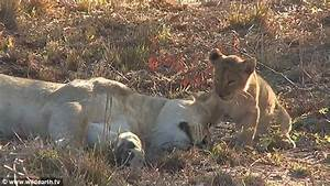 Adorable moment sleepy lioness gives her cub a big cuddle ...