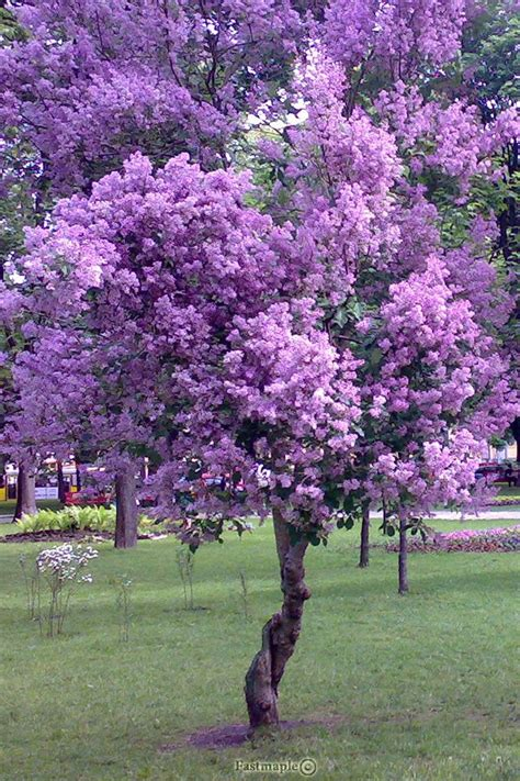 purple flowering tree purple tree flower power pinterest
