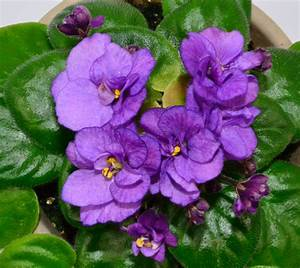 Robs Silver Spook African Violet Flowers | African violets ...