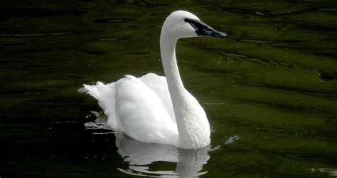 swan trumpeter swans birds bird identification lab cornell allaboutbirds guide water ornithology hawk