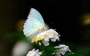 Close-up flower white wings butterfly wallpaper ...