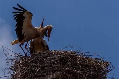 Bald Eagle Nest Bird Birds Preparing Animals