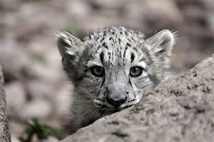 Images Of Newborn Snow Leopard Summer