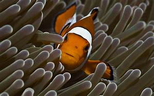 Beautiful Clown Fish and Anemone Pictures HD Wallpapers ...