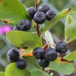Baum Mit Roten Beeren : beeren pflanzen bestimmen ~ Markanthonyermac.com Haus und Dekorationen