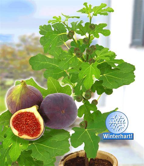 Fruchtfeige 'rouge De Bordeaux' Groß Kaufen Baldurgarten